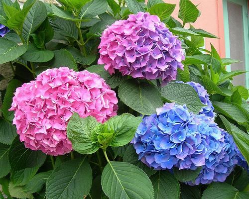 pH đất ảnh hưởng màu hoa cẩm tú cầu
