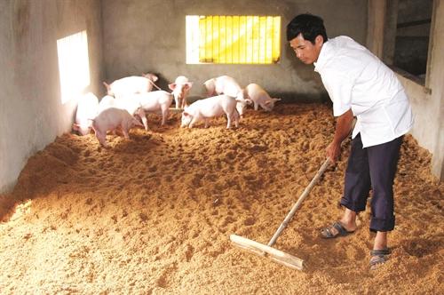 đệm lót sinh học chăn nuôi heo