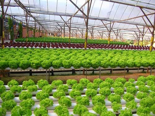 vườn rau thủy canh nhà bà Cúc