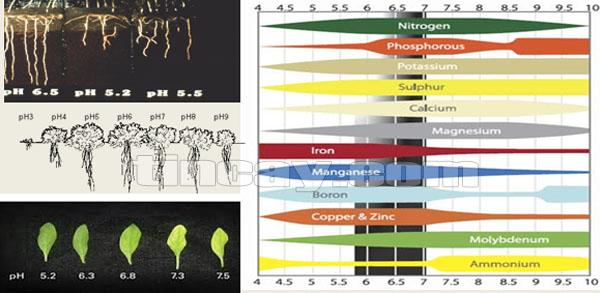 Cây tiêu phát triển kém trên đất pH thấp