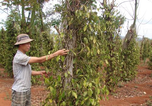 Hồ tiêu cho phát triển không đều và yêu ớt một phần do ảnh hưởng của pH đất