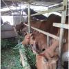 chăm sóc bò sinh sản