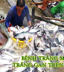 bệnh trắng mang, trắng gan trên cá ba sa