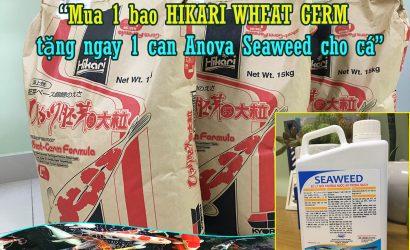"""""""Mua 1 bao HIKARI WHEAT GERM được tặng ngay 1 can Anova Seaweed cho cá""""."""